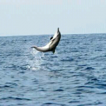 see dolphin